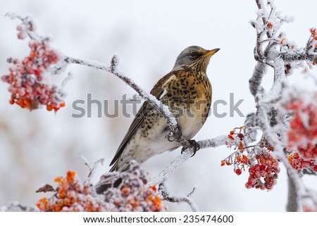 Thrush perched on a rowan tree in winter - stock photo