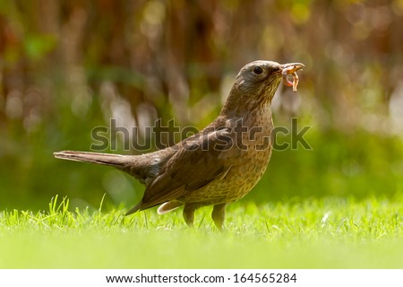 Thrush with earthworms on the grass with blurred background