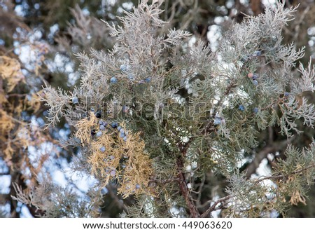 Thuja blue fruits in nature