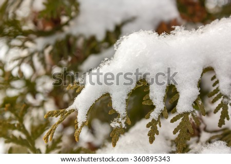 Thuja branch and snowflakes