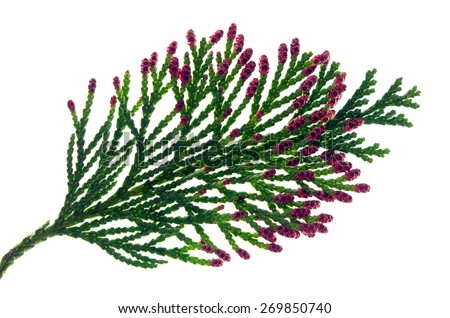 thuja branch with flowers on white background  - stock photo