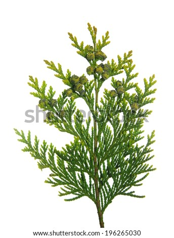 thuja branch with tiny cones on white background  - stock photo