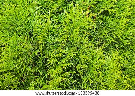 Thuja Branches (Thuja occidentalis Smaragd) - stock photo