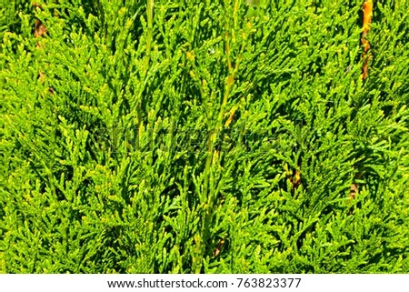 Thuja Branches (Thuja occidentalis Smaragd)