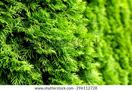 Thuja green natural background - stock photo