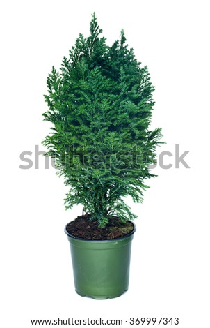 Thuja in pot