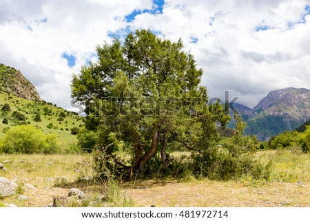 Thuja in the mountains in nature