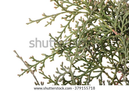 Thuja isolated on white background. winter concept, New Year, holiday. decoration element. ekibany.