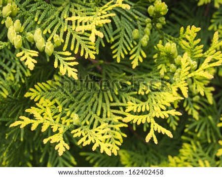 Thuja occidentalis is an evergreen coniferous tree, in the cypress family Cupressaceae, which is native to the northeast of the United States and the southeast of Canada, - stock photo