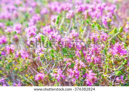 Thyme - stock photo