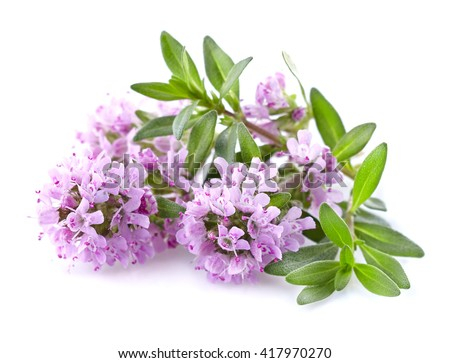 Thyme flowers in closeup - stock photo