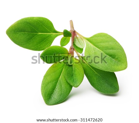 Thyme fresh herb isolated on white background - stock photo