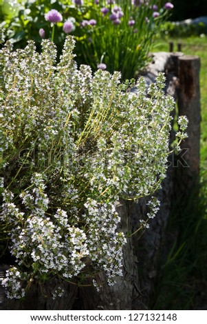 Thyme - healing herb and condiment growing in nature - stock photo