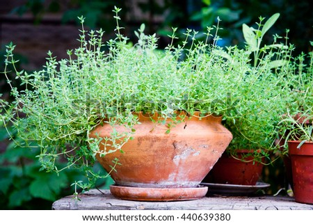 Thyme herb in terracotta pot grown outdoors - stock photo