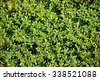Thymus citriodorus (Lemon thyme or Citrus thyme) - stock photo