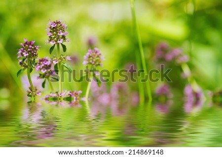 Thymus , thyme - healing herb and condiment growing in nature, natural floral background with water reflection - stock photo