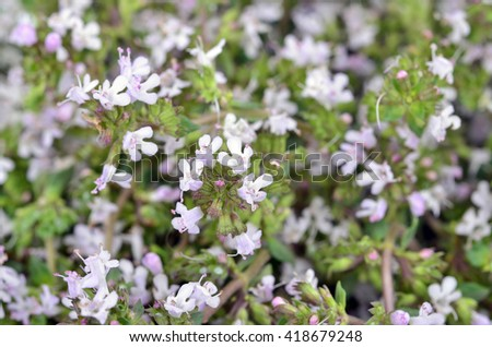 Thymus vulgaris / Common Thyme/, variety with pale pink flowers - stock photo