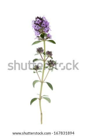 Thymus vulgaris - Thyme Flower isolated on white background with shallow depth of field. - stock photo