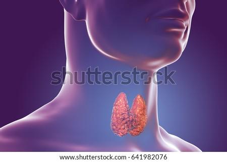 Thyroid Gland Inside Human Body 3d Stock Illustration 641982076