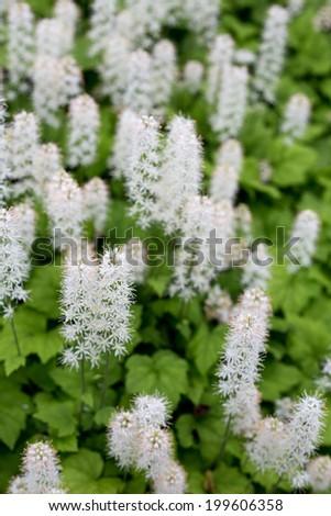 Tiarella flower in garden - stock photo