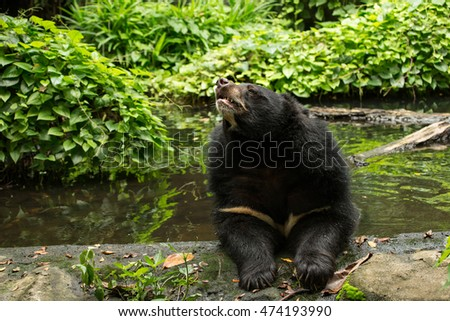 Tibetan black bear relaxing on the pond