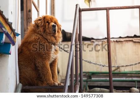 Tibetan mastiff - stock photo