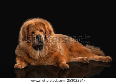 Tibetan mastiff on black background