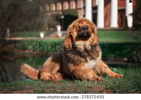 Tibetan Mastiff puppy - stock photo