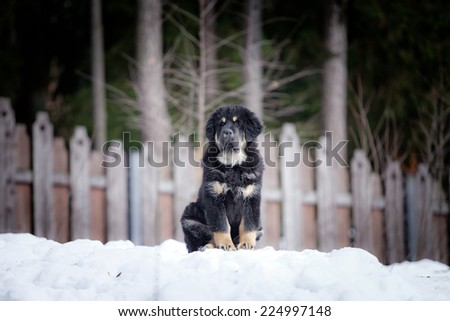 Tibetan Mastiff puppy dog playing in the snow portrait - stock photo