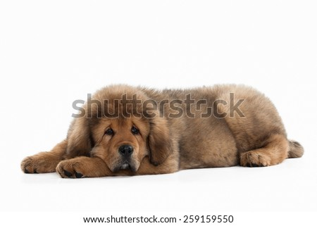 Tibetan mastiff puppy on white background
