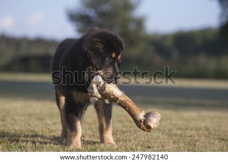 Tibetan mastiff puppy stands yard yard with large bone in the mouth