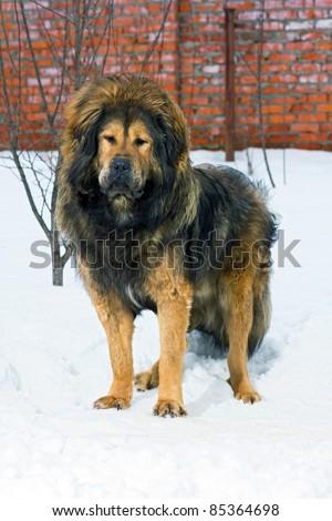 Tibetan Mastiff stands in snow against brick wall - stock photo