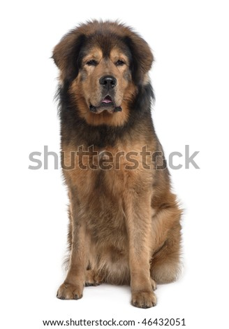 Tibetan mastiff, 3 years old, sitting in front of white background - stock photo