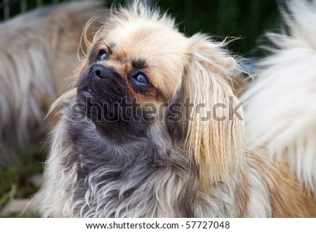 Tibetan Spaniel puppy looking up with its big and wet eyes
