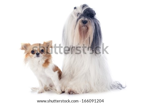 tibetan terrier and chihuahua in front of white background