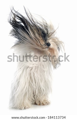 Tibetan terrier in front of white background - stock photo