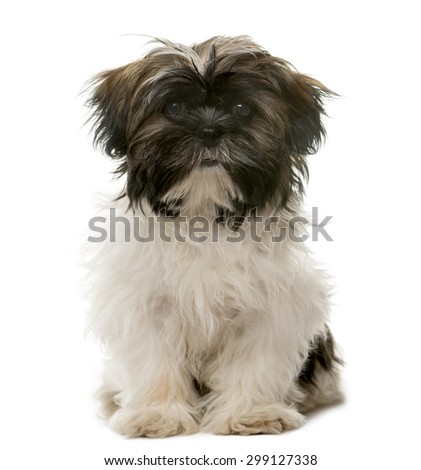 Tibetan Terrier sitting in front of a white background - stock photo