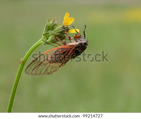 Tibicen Plebejus (Singing Cicade) spotted on a bending yellow flower in low vegetation with great colored wings