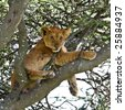 Tick Infested Lion Cub up a Tree in Serengeti - stock photo