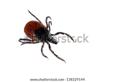 Tick Ixodes ricinus isolated on white - stock photo