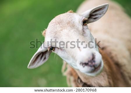 tied sheep head, blur background - stock photo