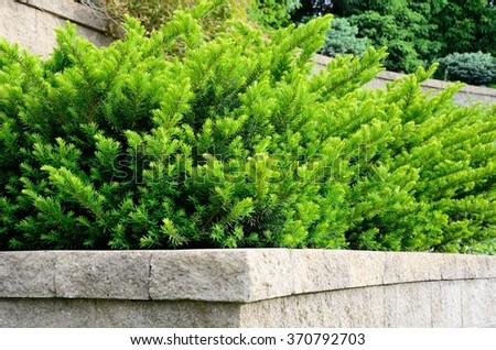 Tiered Retaining Wall with Yew (Taxus) Evergreen Shrubs