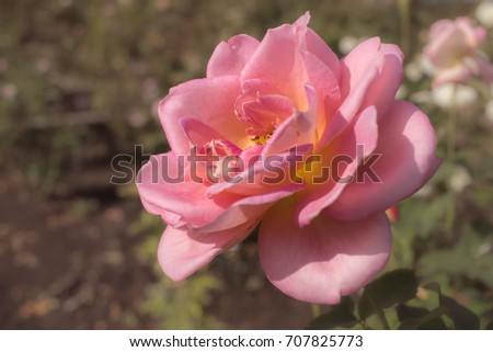 Tiffany; Hybrid Tea Rose, Pink Rose Originally Produced by the Breeder Lindquist in USA, 1954