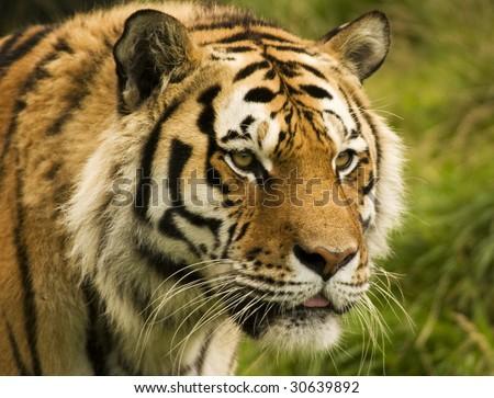 Tiger Ears Headband Online | Tiger Ears Headband for Sale