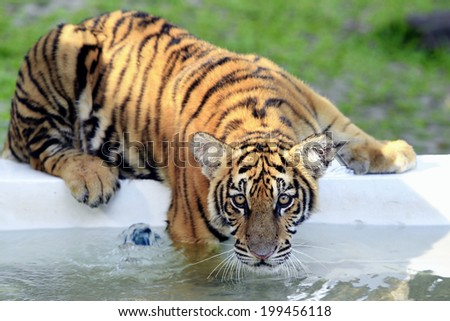 tiger above water - stock photo