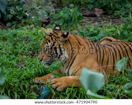 tiger against a background of grass