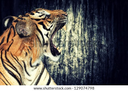 Tiger against grunge concrete wall - stock photo