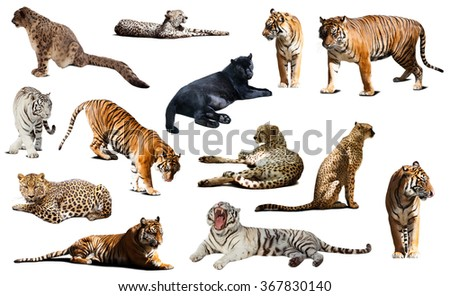 tiger and other big wildcats. Isolated over white background with shade