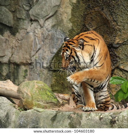 Tiger are pretending pounce the bait.[Royal Bengal tiger]