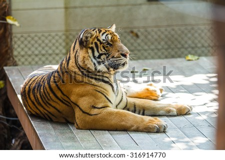 Tiger Asia - stock photo